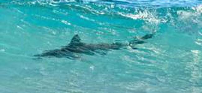 Tiburones en la costa de la Florida